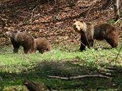 Medvěd s mladými v Beskydech