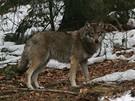 Mionší, vlk