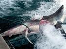 Rybáři vylovili u břehů australského Brisbane přes tři metry dlouhého bílého žraloka, kterého téměř překousl větší, šestimetrový žralok, vejpůl