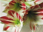 Květy hvězdníku mají příjemně sametový povrch.