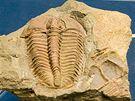 Mnoho nálezů trilobitů pochází z Čech