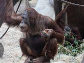 Devítiletý Pagy, orangutan sumaterský.