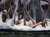 Bratři Pagy a Filip, mladí orangutani sumaterští, ve svém výběhu v pražské zoo...