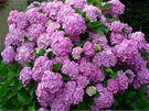 Hortenzie velkokvětá (Hydrangea macrophylla) je nejčastěji pěstovanou hortenzií u nás, přestože je nejchoulostivější