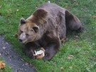 Medvěd Ludvík ve výběhu náchodského zámku
