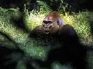 Gorily tráví hodně času v bažinách.