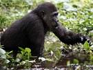 Gorily v bažinách hledají potravu.