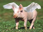 Podle britského průzkumu si 17 % lidí myslí, že prase má křídla.
