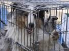 Pes zachráněný z o puštěného města Minami Soma (13. dubna 2011)