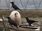 Na zádech prasete v Minami Somě odpočívá vrána. Spousta zvířat zůstala opuštěna po povinné evakuaci (8. dubna 2011)