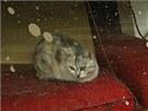 Kocour opuštěný ve městě Minami Soma (8. dubna 2011)