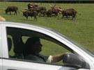 Safari ve Dvoře Králové nad Labem z vlastního auta