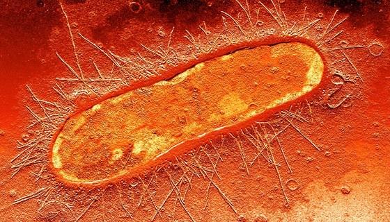 Bakterie E. coli pod mikroskopem
