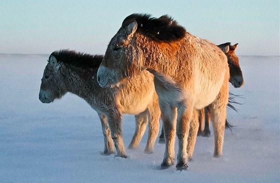 Koně Převalského vMongolsku
