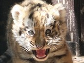 Ostravská zoo v sobotu křtila tygří trojčata. Koťata se narodila 2. června a