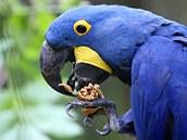 Největší z papoušků ara hyacintový