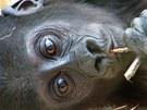 Nejmladší Kiburi, okusující větvičky