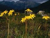 Prha horská (Arnica montana). Vytrvalá rostlina rostoucí především v horském