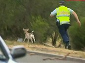 Australská policie se snaží chytnout kozu.