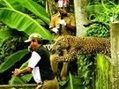 Útok leoparda (1. cena Bleskové zprávy - mimořádná pocta)
