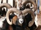 Stádo muflonů z oblasti Machovska.