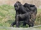 Trojnásobná máma Kijivu se syny Tatuem a Kiburim. Samička Moja už je dospělá a
