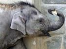 Slůně Rashmi z ostravské zoo oslaví první narozeniny. (11. dubna 2012)