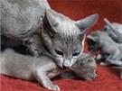 Barmská kočka přenášející své kotě