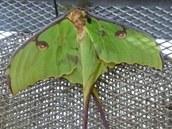 Obří hedvábný motýl (Argema mimosae) z východního pobřeží Jižní Afriky mívá
