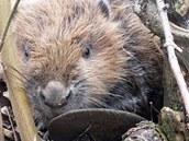 Zraněný bobr, kterého našli záchranáři v lesní oplocence na Domažlicku u