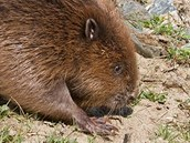 Vypuštění bobra zpět do volné přírody.