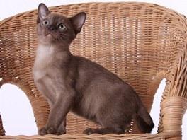 Kotě barmské kočky