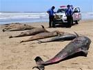 Mrtv� delf�ni na pl�i San Jos� nedaleko m�sta Chiclayo v Peru (6. dubna 2012)