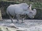 Vzácní bílí nosorožci z královédvorské zoo odcestují do keňské rezervace Pejeta