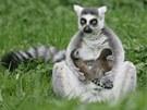 Lemur kata s mláďaty v královédvorské zoo