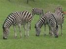 Stádo zeber v královédvorské zoo