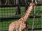 Dva a půl měsíce staré mládě žirafy , jeden z letošních přírůstků olomoucké ZOO
