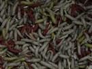Červy a larvy. Tisíce, statisíce, miliony.