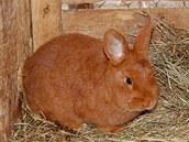 Český červený králík