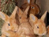Samice českého červeného králíka s mláďaty