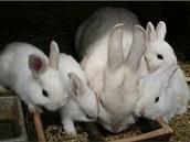 Samice českého černopesíkatého králíka s několikatýdenními mláďaty.