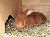 Samice českého červeného králíka