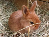 Mládě českého červeného králíka