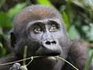 Mládě gorily nížinné v národním parku Nouabalé Ndoki v Demokratické republice