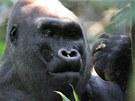 Stříbrohřbetý samec gorily nížinné Kingo  v národním parku Nouabalé Ndoki v