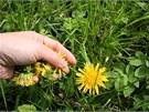 Trhejte jen čisté, plně rozkvetlé květy pampelišek.