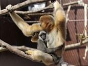 Téměř roční mládě gibona bělolícího z ostravské zoologické zahrady se