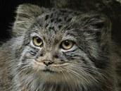 Manul je dlouhosrstá divoká kočka, která žije v asijské oblasti Ruska, Nepálu a