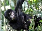 Mládě gorily horské z Národního parku Bwindi v Ugandě