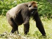 Jediná gorila nigerijská v lidské péči je Nyango. Žije v záchranné stanici v